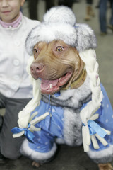 "A pit bull terrier is seen during the annual ""Mayor's Cup 2009"" dog contest in Moscow"