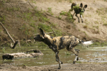 Critically endangered African wild dogs (Lycaon pictus) hunt a Bush buck in the Mana Pools National Park, a World Heritage Site, in northern Zimbabwe