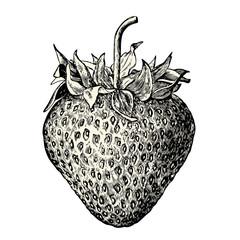 vintage fruit / food vector design element: retro illustration of a fresh strawberry