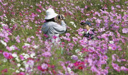 Mother takes video recording of her son through blooming cosmos at a park in Kobe, Japan