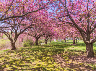 Pink cherry trees at a park in full bloom