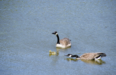 adult Canada geese with gosling swimming in water