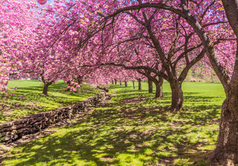 Pink cherry trees drape gracefully near a stone canal