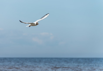 Beautiful Seagull flying in the sky