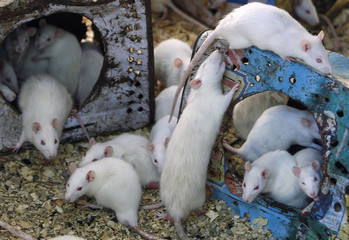 White mice crawl around tins surrounded by sawdust in Salah Tolba's house in Giza
