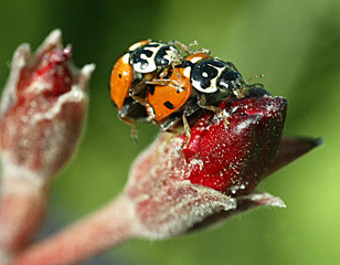 Ladybirds mate on a flower bud at a public park in the centre of the Jordanian capital Amman.