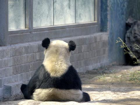 A giant panda sits n the Olympic Games Panda House at Beijing Zoo