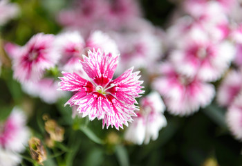 Beautiful Dianthus flower (Dianthus chinensis) blossoming in the gardern