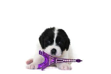 landseer puppy dog pure breed