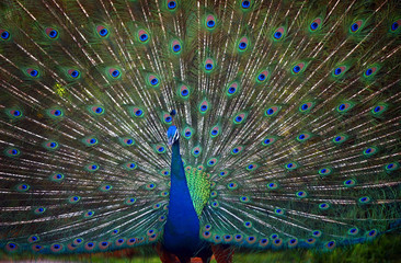 A large male peacock displays his feathers at the Waimea Valley Audubon Center in Waimea Bay.