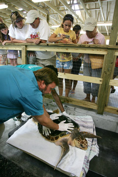 A loggerhead sea turtle named Golden Boy is carried to a treatment room to be fitted with a satellite telemetry transmitter so he can be released after being rehabilitated on Jekyll Island.