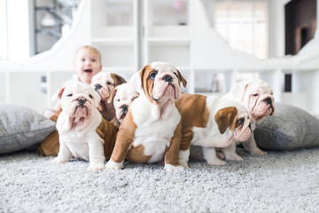 Cute puppies of English bulldog sitting on the carpet with the little girl