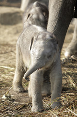 One of a pair of one-month-old twins tries to remove grass from its head at an elephant breeding centre at Chitwan in Nepal