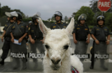 An alpaca stands in front of police during a protest against the U.N. coca report in Lima