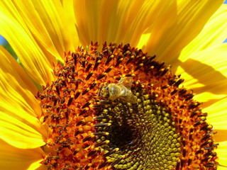 Photo of a honey bee on a sunflower