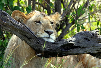 -PHOTO TAKEN 11JAN05- A lion rests his head on a tree branch in Kenya's Maasai Mara game reserve, 24..