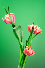 Spring tulip flower bouquet on a green background