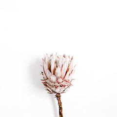 Beauty protea flower on white background.