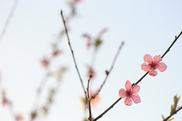 Fruit trees in bloom in the spring against the sky