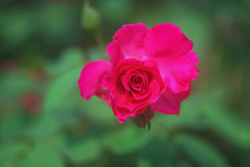 Red rose on green nature background