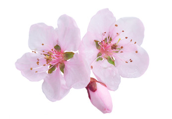Pink cherry blossom isolated on white background Wall mural