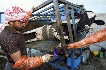 A Palestinian worker sprays antiseptic on the hoof of a cow at a dairy farm in Hebron