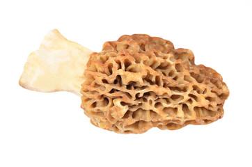 Morchella esculenta mushroom