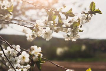 Cherry tree spring blossom, branch with flowers closeup