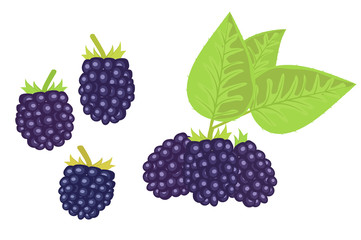 the black raspberry. white background cut vegetables. vector illustration of high quality.