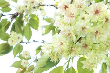 めずらしい桜-御衣黄(ぎょいこう)