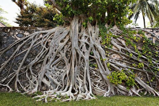 Strangler fig tree on wall in Con Son, Con Dao Island, Vietnam