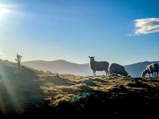 Sheeps in idyllic Akaroa, Canterbury, New Zealand