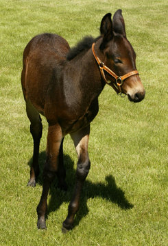 Idaho Gem, the first successfully cloned mule in the world, is revealed at the University of Idaho (..