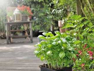 Photos illustrations et vid os de bouderie - Arrosage basilic en pot ...