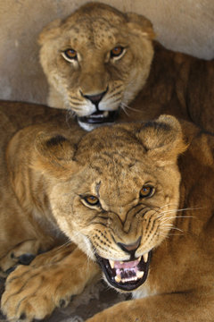 Lion cubs roar in their enclosure at visitors at the Ghamadan zoo near Amman