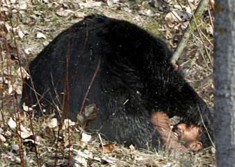 An Asiatic black bear mauls a villager hunting it, near village of Gasoo on outskirts of Srinagar