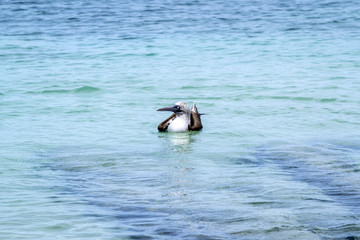 One Blue-footed Booby Floating on the Pacific Ocean