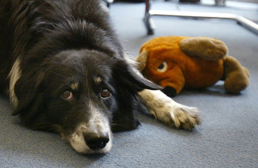 CLEVER BORDER COLLIE RICO LIES NEXT TO A SOFT TOY MOUSE IN BERLIN.