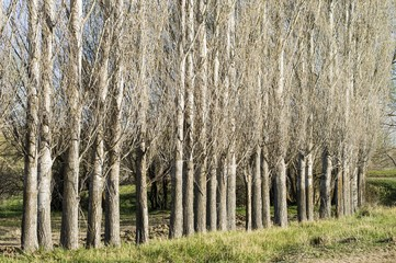 Sequential poplar trees, poplar shell patterns, background pictures