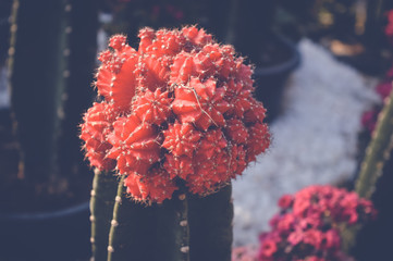 small red cactus