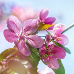 pink flowers on the branches of fruit trees. Apple tree in blossom