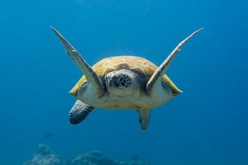 Unterwasser - Riff - Schildkröte - Meeresschildröte - Suppenschildkröte  - Tauchen - Curacao - Karibik