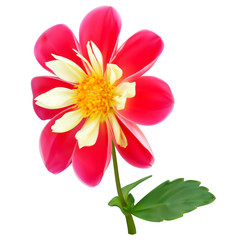 Pink-yellow dahlia flower