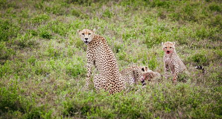 Cheetah family eating their prey