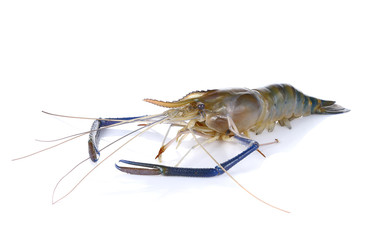 Giant river prawn isolated on white