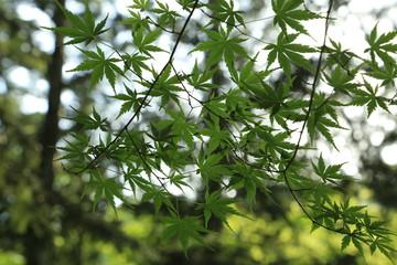 新緑のモミジの葉