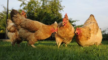 Funny Chicken Flock