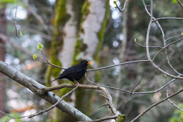 Black bird in the forest