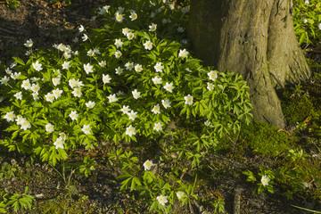 White spring forest flowers Anemone nemorosa near tree