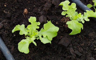 Salad plant food with water system on organic farming.